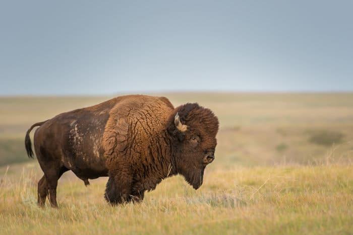 American bison in Grasslands National Park, Saskatchewan