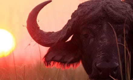 Cape buffalo: the forgotten member of the big five