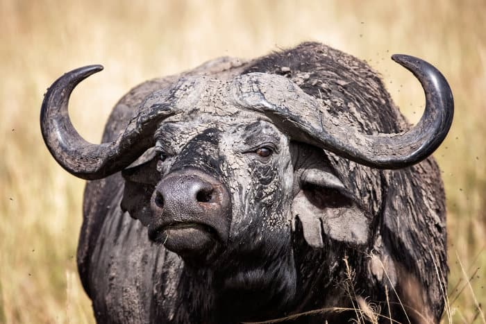 Cape buffalo covered in mud