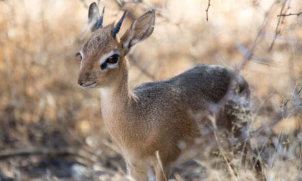 What is a dik-dik?