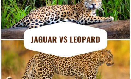 Jaguar vs Leopard – Top 12 differences and comparisons