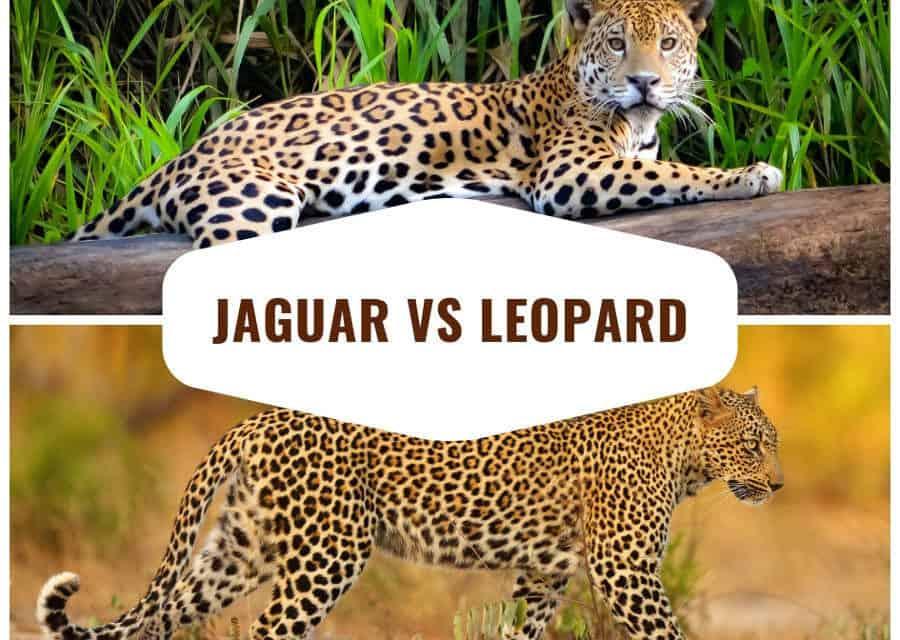 Jaguar vs Leopard – Top 12 differences and comparisons