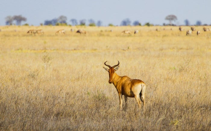 Lone kongoni in Tsavo East National Park