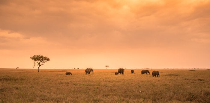 Herd of elephants on the Serengeti plains, at sunset