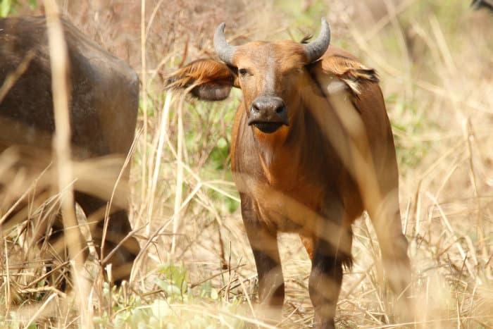 Young Sudanese buffalo in the bush