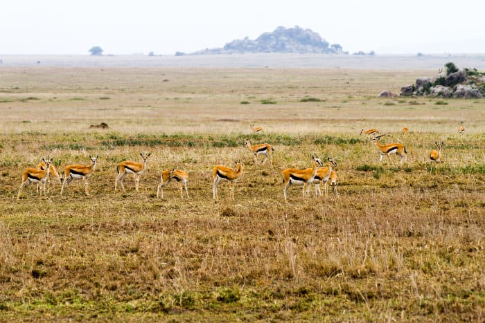 Herd of Thomson's gazelle on the Serengeti plains