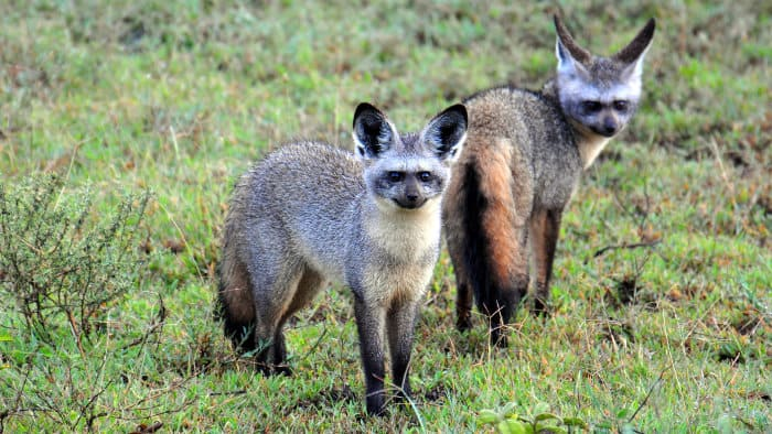 A pair of bat-eared foxes in the Serengeti