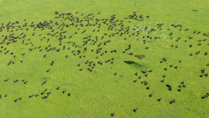 African buffalo aerial shot over the Masai Mara