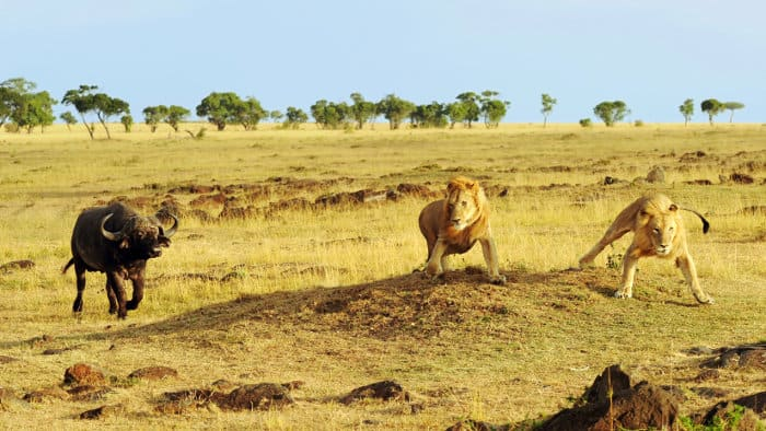 Cape buffalo chases lions in the Masai Mara