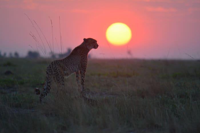 Cheetah at sunset, on the Liuwa Plains