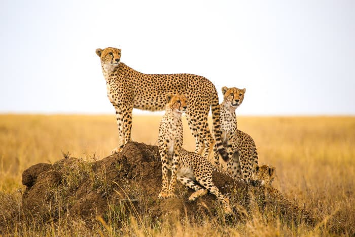 Cheetah scanning the horizon from a termite mound