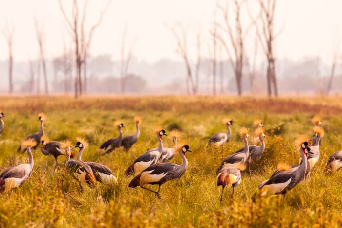 Flock of crowned cranes in South Luangwa