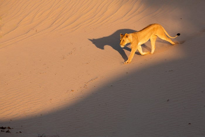Desert lion running down a sand dune in Namibia's Skeleton Coast