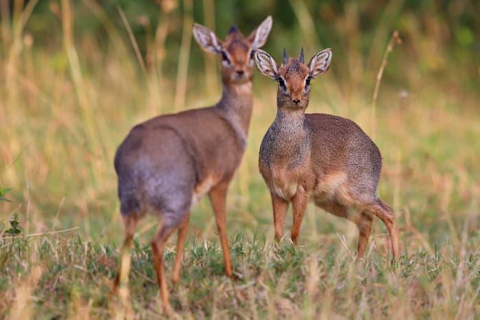Pair of dik-dik in the Masai Mara