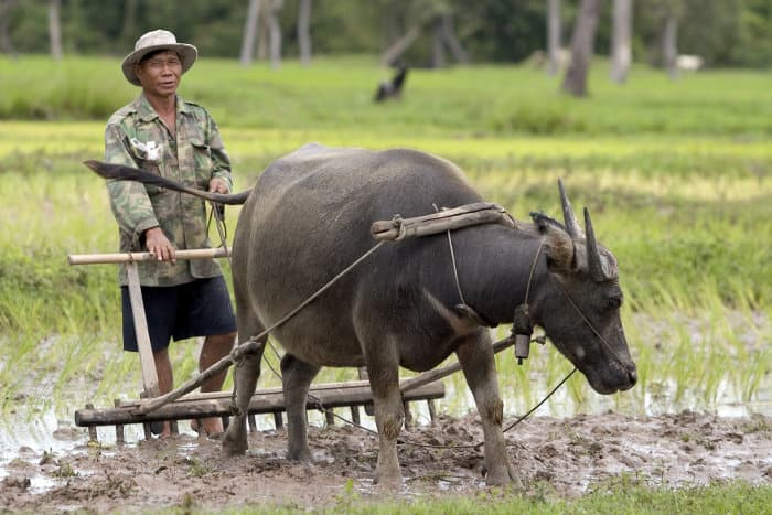 Plough with domestic water buffalo