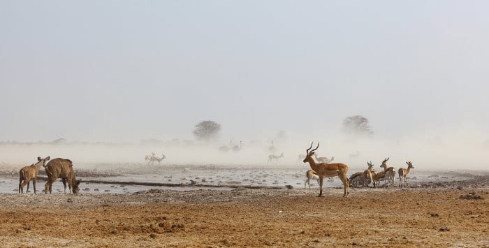 Animals drinking at a dusty waterhole in Nxai Pan National Park