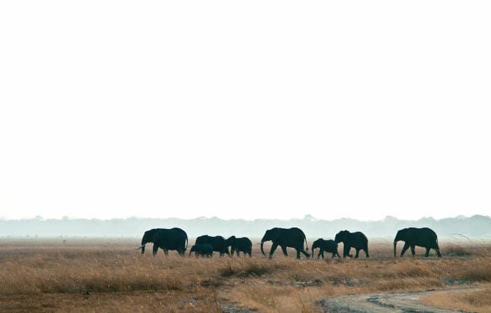 Elephant family walking across the Katavi plains