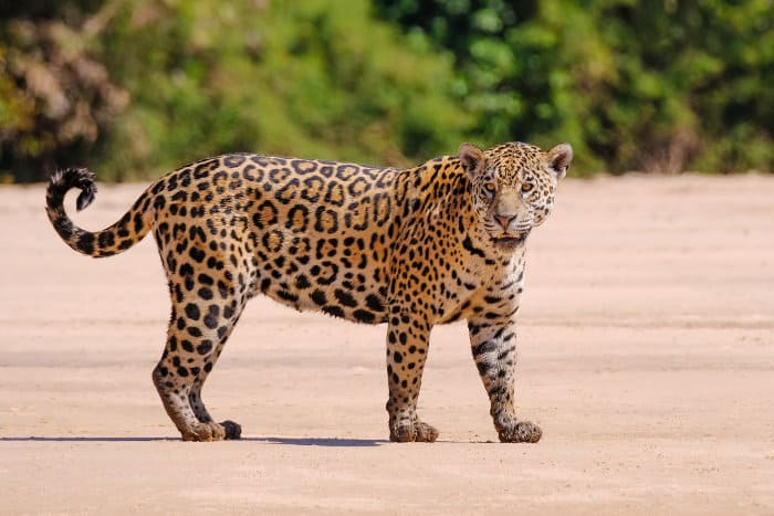 Female jaguar on the banks of the Cuiabá River