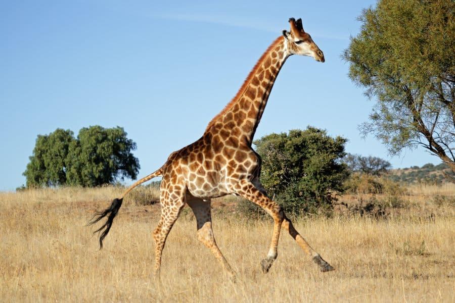 How fast can a giraffe run?