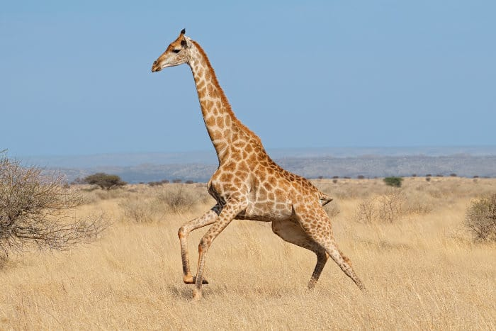 Giraffe running at full speed