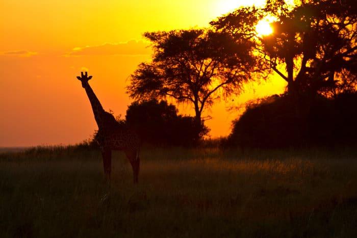 Giraffe silhouette at sunset in Katavi National Park