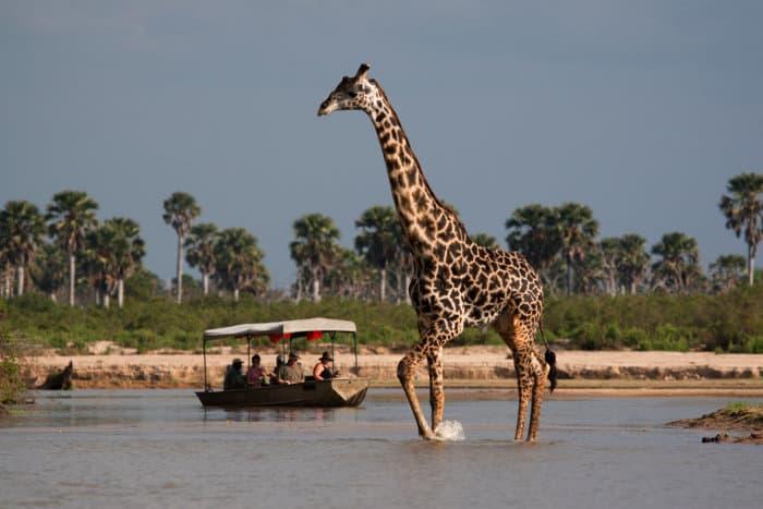 Giraffe crossing the river in Selous Game Reserve
