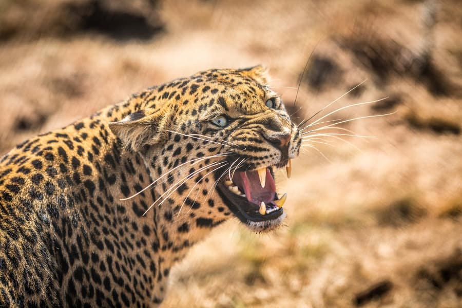 What sound does a leopard make?