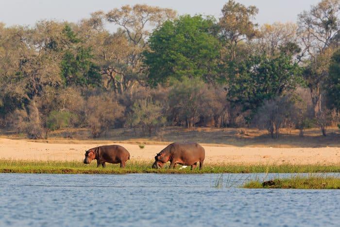 Hippos grazing in Lower Zambezi National Park