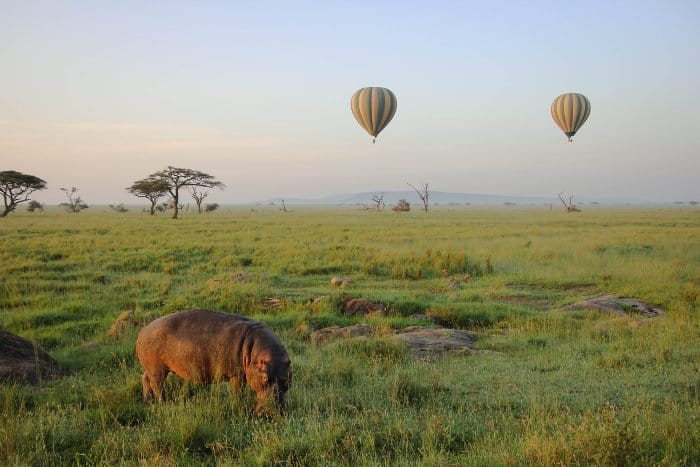 Hippo grazing on the Serengeti plains, with hot air balloons in the background
