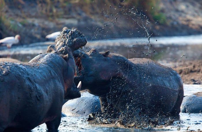 Hippo fighting in Katavi