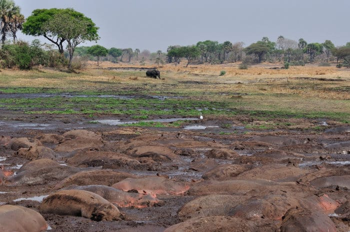 Hippo pool during the dry season in Katavi
