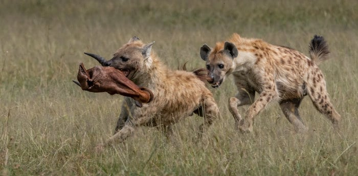 Spotted hyena running away from clan member, with a topi head in its mouth