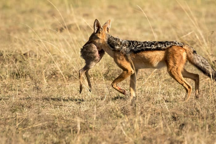 Black-backed jackal with rear end of a dik-dik in its mouth