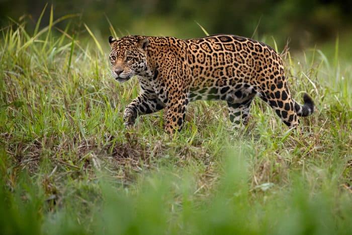 Female jaguar in its natural habitat