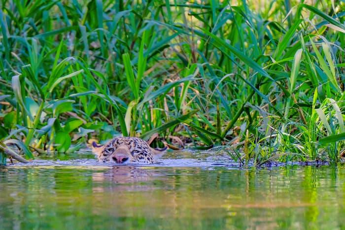 Jaguar swimming across the Cuiabá River in Brazil
