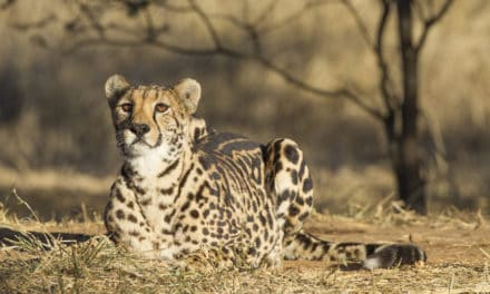 King Cheetah – 10 facts about Africa's rarest cat