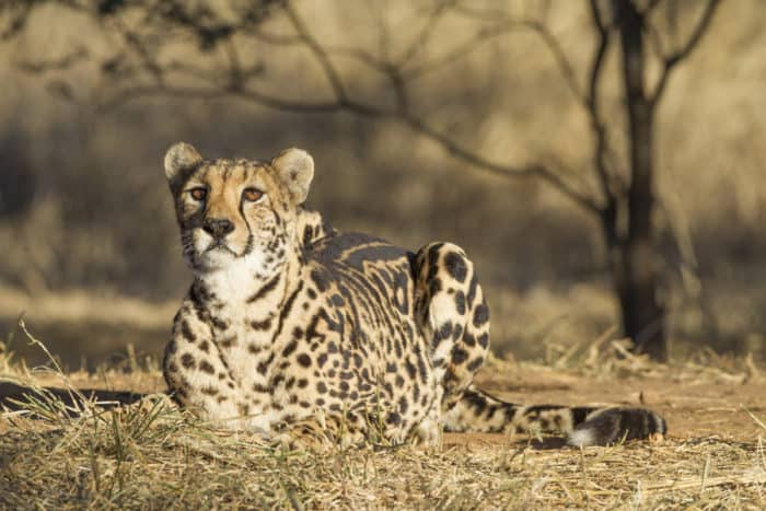 Rare female king cheetah in South Africa