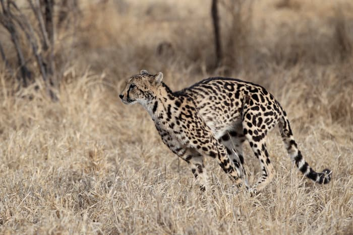 King cheetah in running motion
