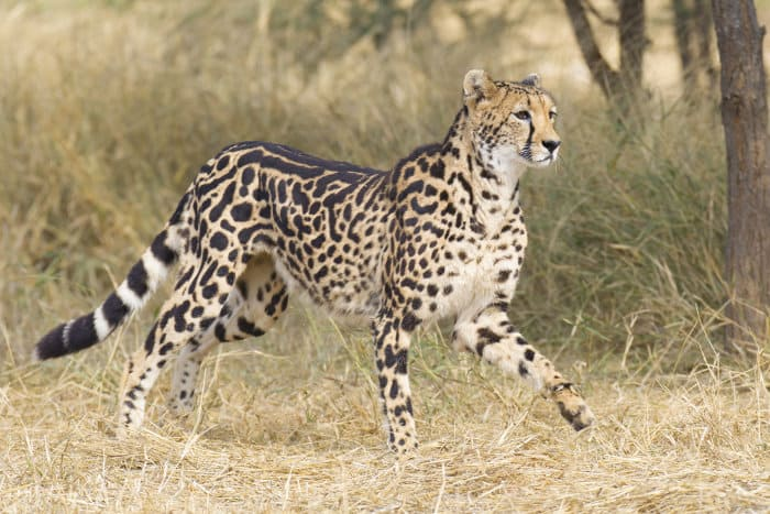 Female king cheetah in South African bushveld