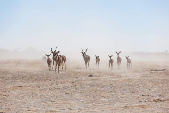 Kudu in the dust
