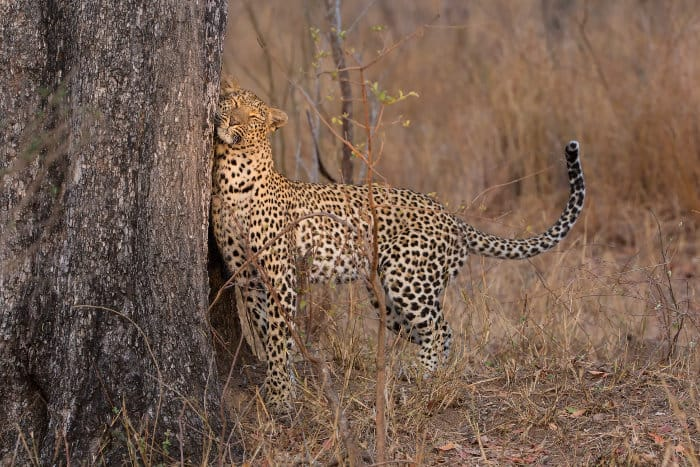 Lone leopard scent-marking his territory on a tree