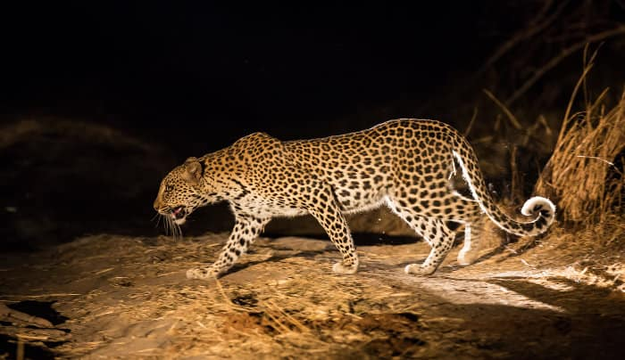 Leopard on a night drive in South Luangwa