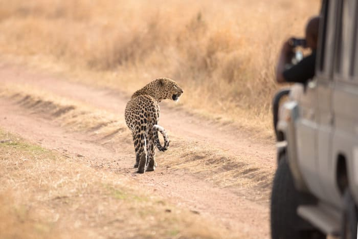 Leopard on dusty road in the Serengeti