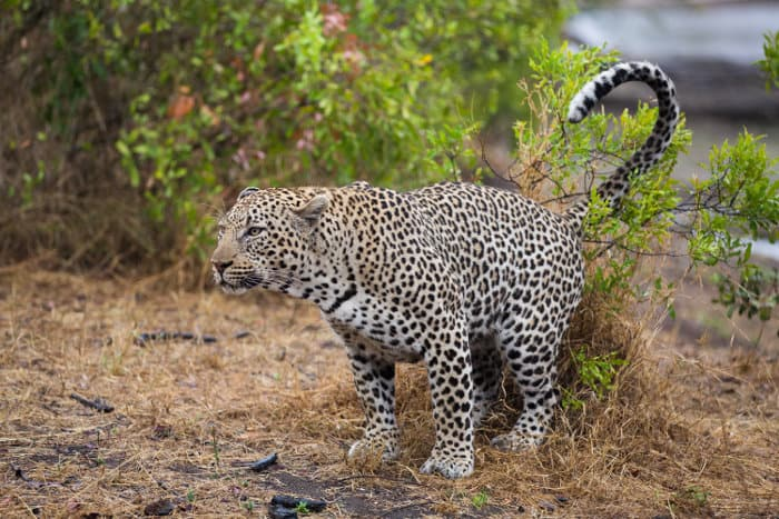 Big male leopard scent-marking his territory