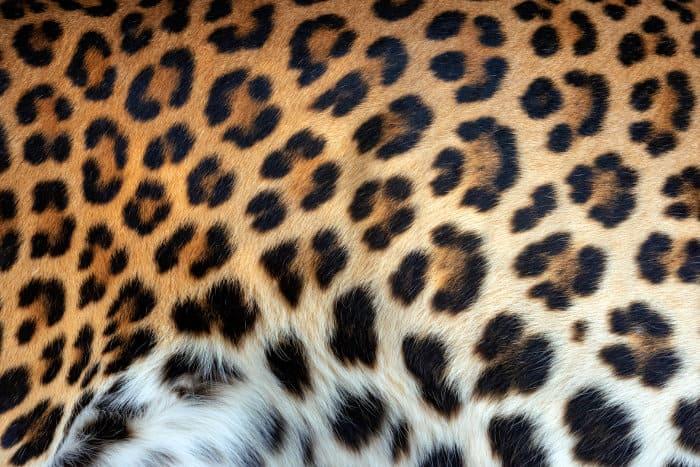 Leopard rosette pattern