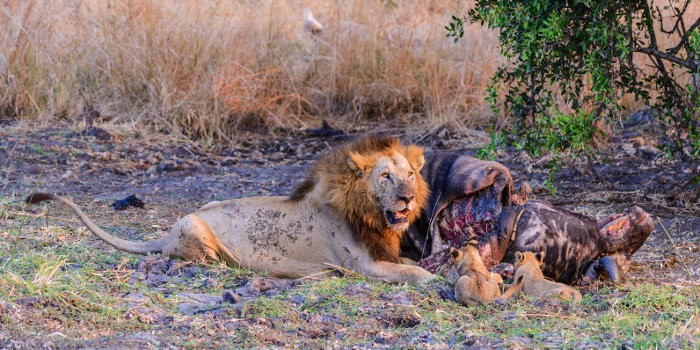 Lion and cubs with buffalo kill in Katavi