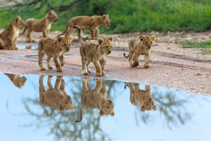 Lion cubs playing near a puddle of water