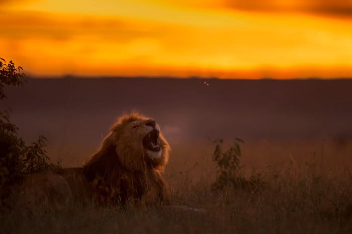 Lion roaring at sunrise