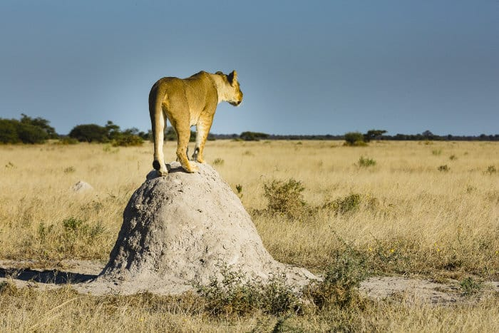 Lioness perched on termite mound in Nxai Pan National Park