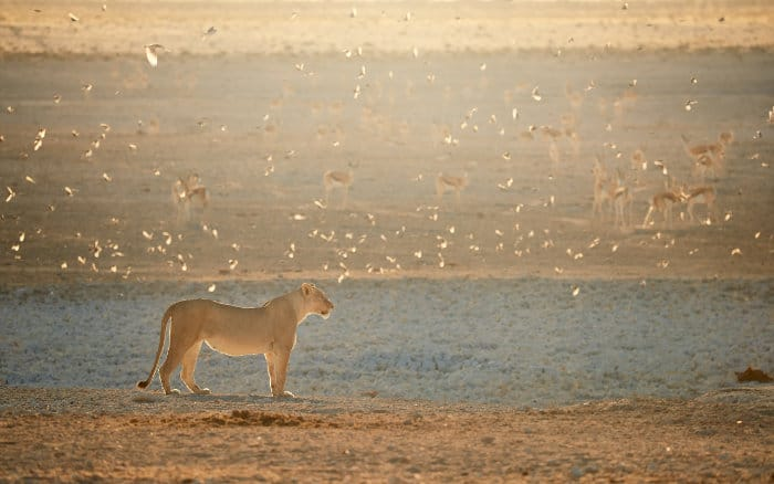 Lioness among flock of sociable weavers, with herd of springbok in the background